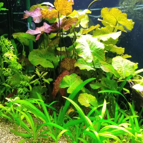 Green Tiger Lotus Aquatic Plants