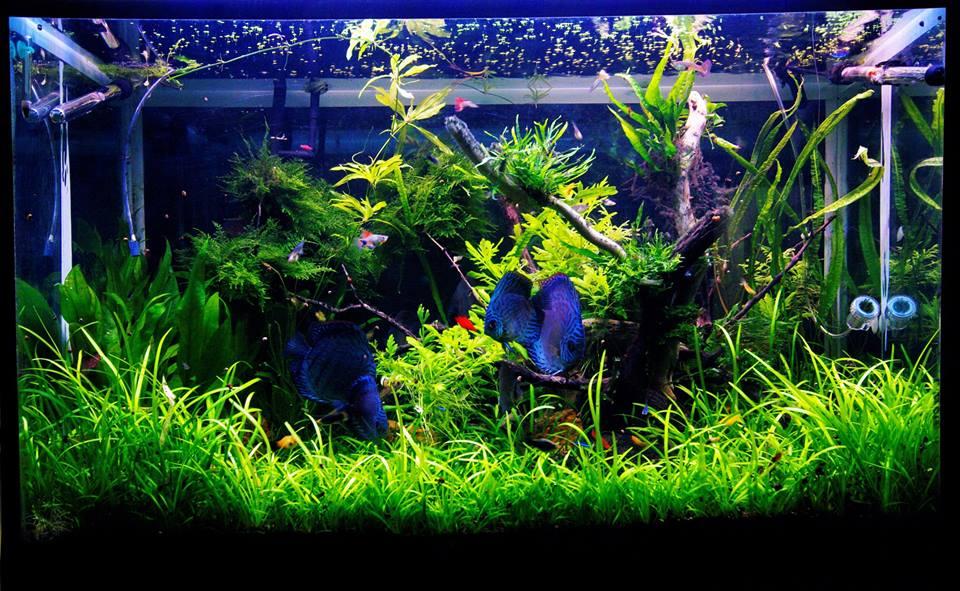 Dwarf Sagittaria Subulata Aquatic Plants