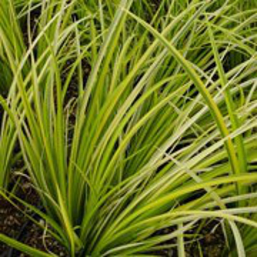 Japanese rush aquatic plants for Japanese pond plants